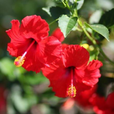 hibiscus-450